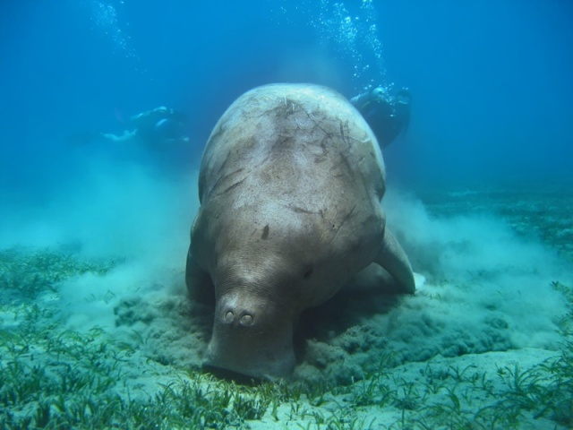 Dugong - Underwater - copyright of Prince John website.